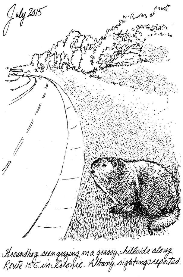 New York's largest member of the squirrel family is the groundhog (Marmota monax). Widely distributed across North America, these herbivorous marmots have chunky, low to the ground bodies, and long, coarse dark blonde to reddish-brown fur with jet-black hands. Adults weigh 7 to 12 pounds. (Carol Coogan)