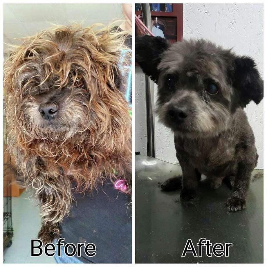 Chester has terminally ill cancer and was left at a high-kill shelter before a Georgia rescue organization called Animal Ark saved him, giving him a bath and a haircut. Photo: Nicole Elliott
