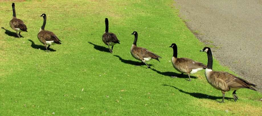 Canada geese have a big presence at Lakeside Park in Oakland.