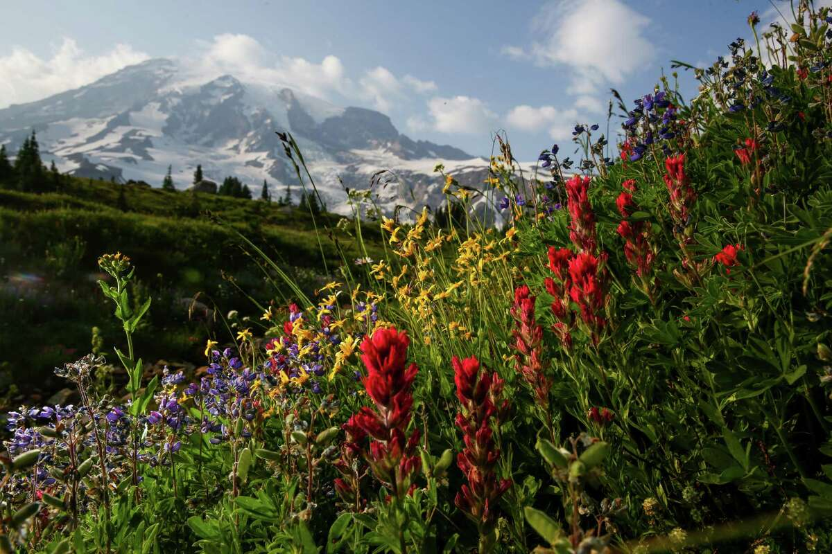 Wildflowers, including Indian paintbrush, bloom in the meadows at the base of Mount Rainier on Wednesday, July 8, 2015. The wildflowers bloomed early this year because of the warm temperatures, and in recent days the scorching sun has wilted most of the colorful blooms.