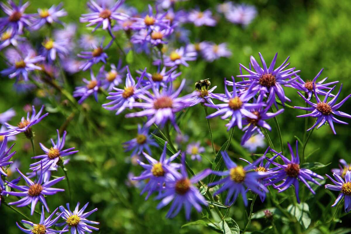 Alpine asters bloom in the meadows at the base of Mount Rainier.