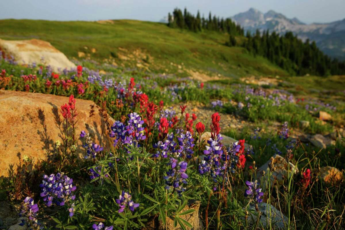 Wildflowers, including lupine and paintbrushes, bloom in the meadows at the base of Mount Rainier.