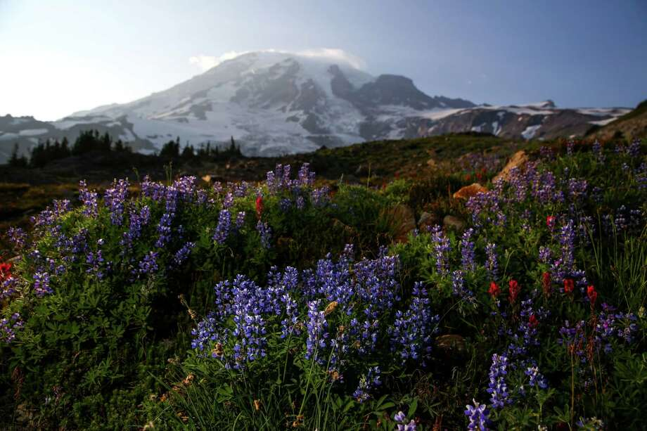 Lupine and paintbrush wildflowers bloom in the meadows at the base of Mount Rainer on Wednesday, July 8, 2015. The wildflowers bloomed early this year because of the warm temperatures, and in recent days the scorching sun has wilted most of the colorful blooms. Photo: JOSHUA TRUJILLO, SEATTLEPI.COM / SEATTLEPI.COM
