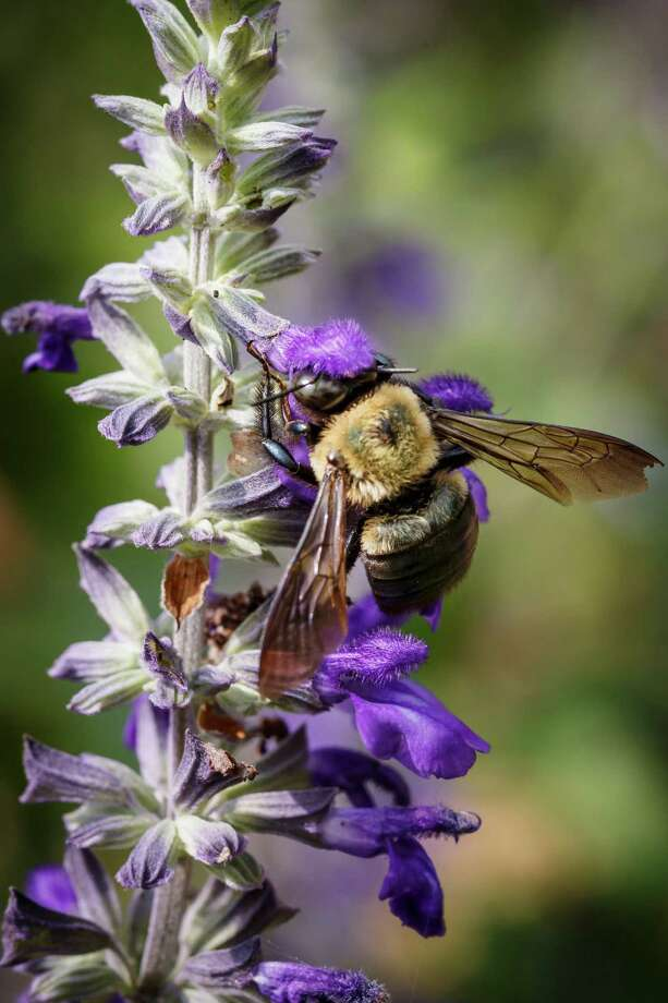A bee sits on a Salvia plant at the Memorial Park Greenhouse demonstration gardens, Thursday, May 23, 2013, in Houston. ( Michael Paulsen / Houston Chronicle ) Photo: Michael Paulsen, Staff / © 2013 Houston Chronicle