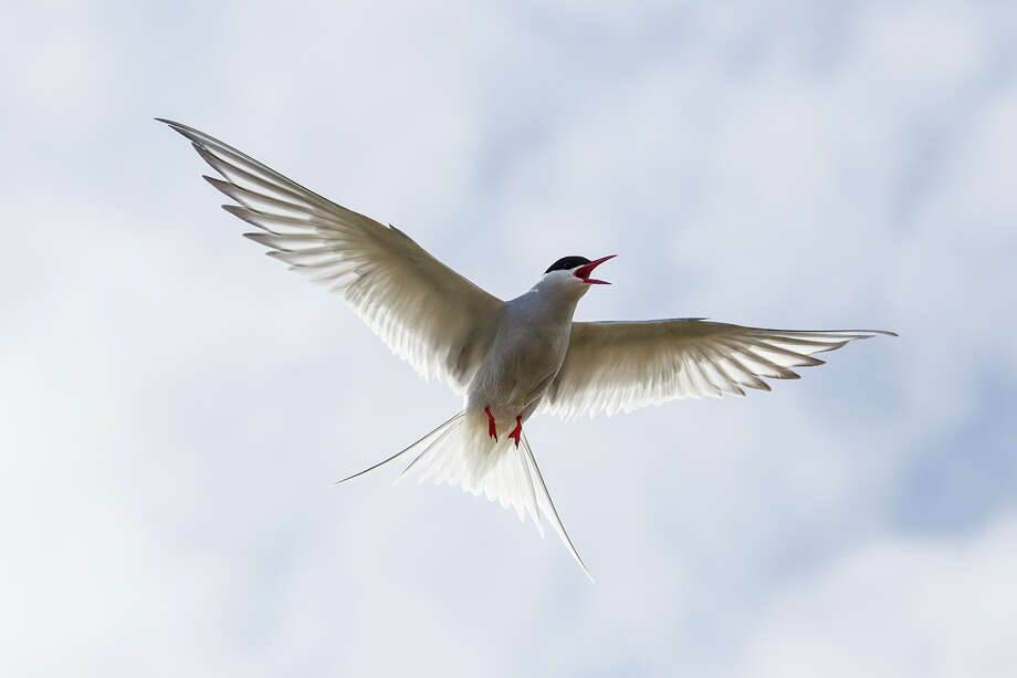The migratory journey of an Arctic tern in the North Atlantic region can average 55,000 miles every year. Photo: Kathy Adams Clark / Kathy Adams Clark/KAC Productions