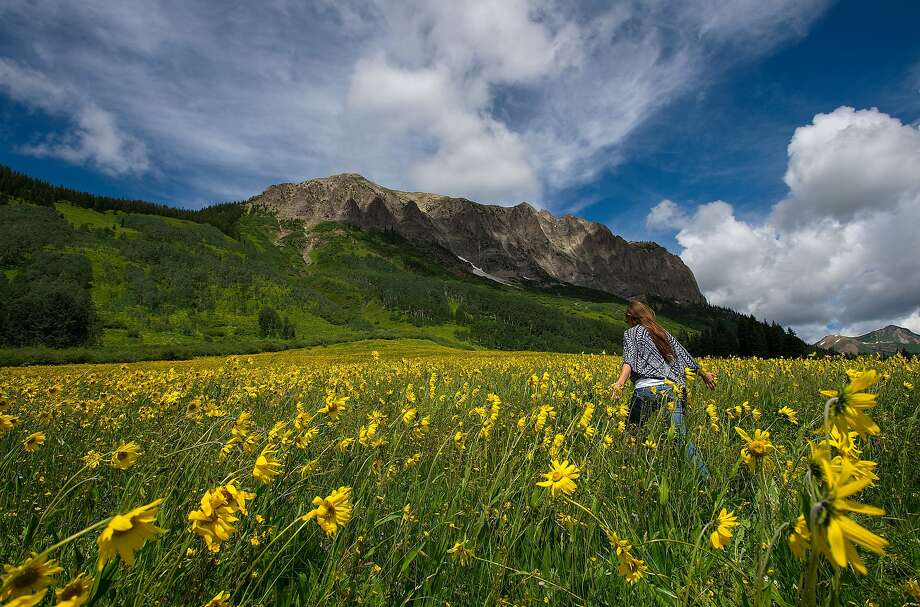 Leslie McWilliams of Colorado Springs, Colo., walks through sunflowers near Gothic, Colo., Thursday, July 9, 2015. The Crested Butte Wildflower Festival begins Monday, July 13, and runs through July 19.  Photo: Christian Murdock, Associated Press