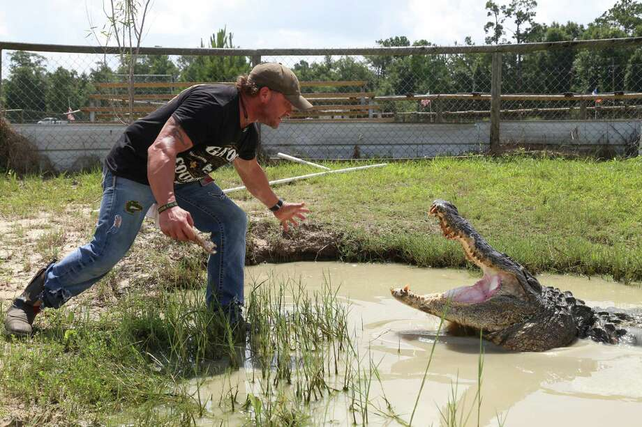Owner of Gator-Country-Rescue Gary Saurage handles an alligator at the Gator Country adventure park. Saurage says the thirteen foot alligator is the heaviest in the country. 