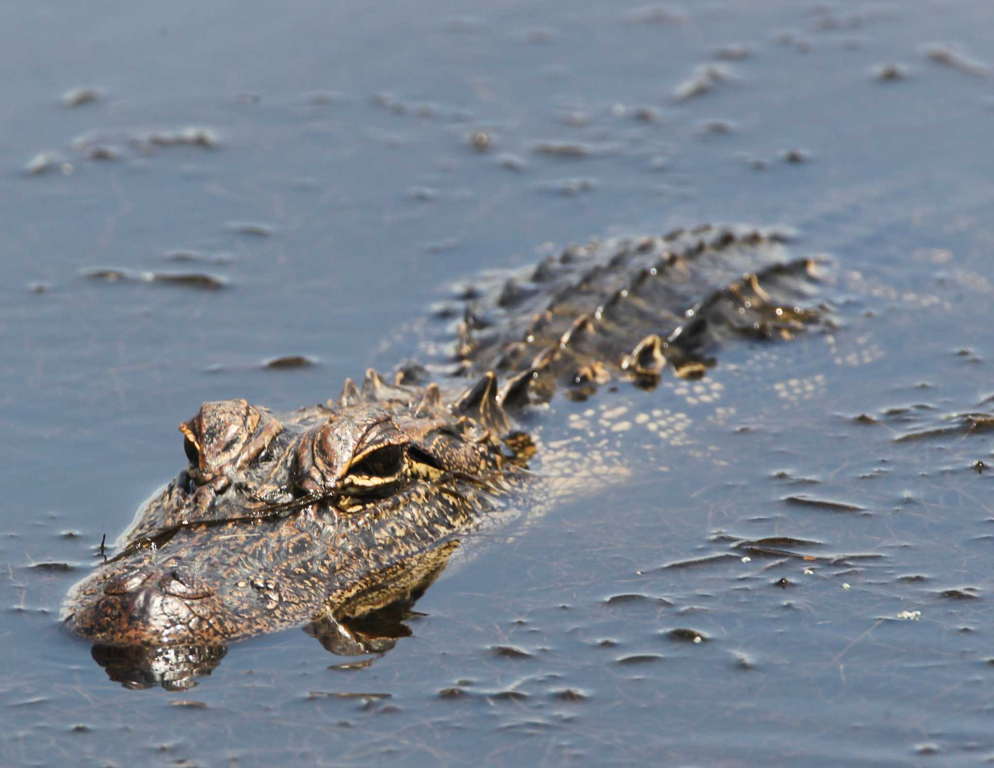Images of alligators in water