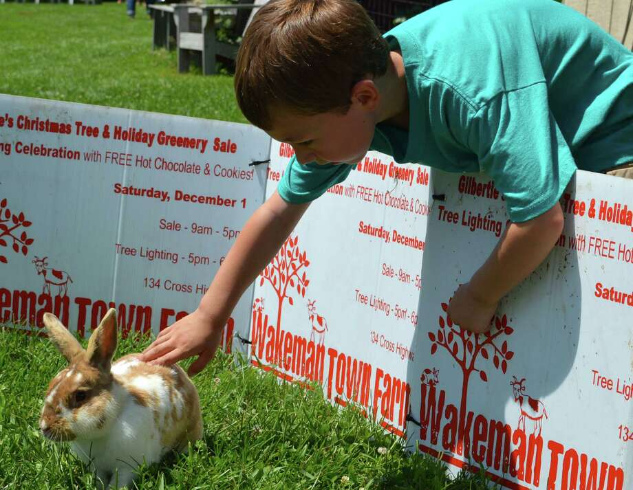 Austin Charise, 5, of Westport, meets one of the rabbits at Wakeman Town Farm during the farm's annual Family Fun Day on Saturday. Photo: Jarret Liotta / For Hearst Connecticut Media / Westport News