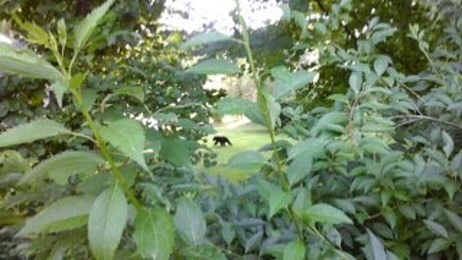 A bear was spotted in Brookfield this weekend. Photo: Contributed Photo