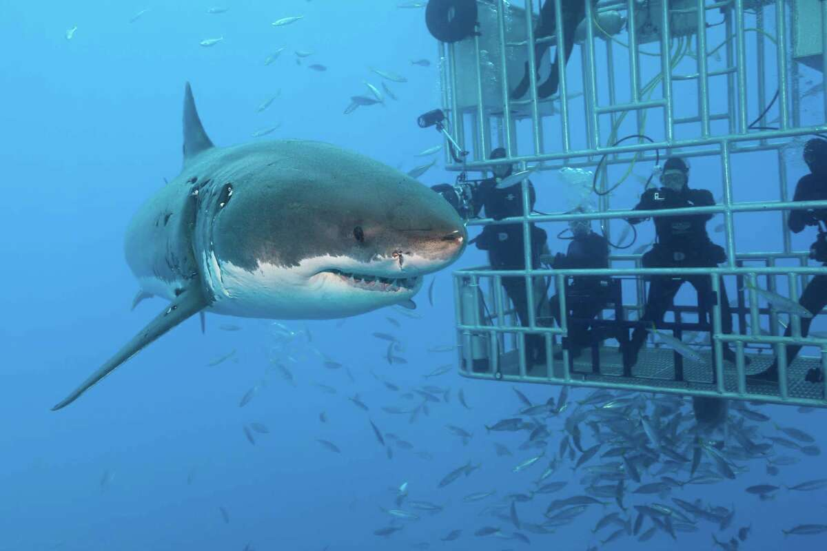 Great White Shark Cage Diving, Carcharodon carcharias, Guadalupe Island, Mexico (Photo by Reinhard Dirscherl/ullstein bild via Getty Images)