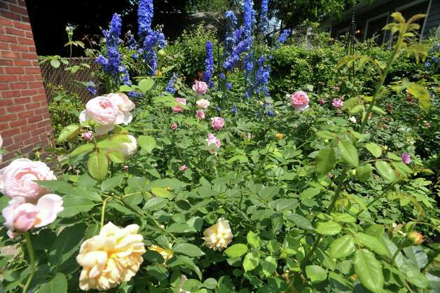 A view of  the garden at 8 Pinewood Ave., filled with David Austin English roses and New Millennium Delphiniums, seen here on Sunday, July 12, 2015, in Saratoga Springs, N.Y.  This backyard garden was one of the locations for the Saratoga Secret Gardens Tour.  The Secret Gardens Tour is sponsored by Soroptimist International of Saratoga County as a fundraiser for the organization.  The Soroptimist International of Saratoga County is an organization made up of business and professional women who work to improve the lives of women and girls in the community.   (Paul Buckowski / Times Union) Photo: PAUL BUCKOWSKI / 00032580A