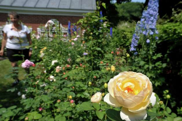 A view of some David Austin English roses as people make their way through the garden at 8 Pinewood Ave. on Sunday, July 12, 2015, in Saratoga Springs, N.Y.  This backyard garden was one of the locations for the Saratoga Secret Gardens Tour.  The Secret Gardens Tour is sponsored by Soroptimist International of Saratoga County as a fundraiser for the organization.  The Soroptimist International of Saratoga County is an organization made up of business and professional women who work to improve the lives of women and girls in the community.   (Paul Buckowski / Times Union) Photo: PAUL BUCKOWSKI / 00032580A