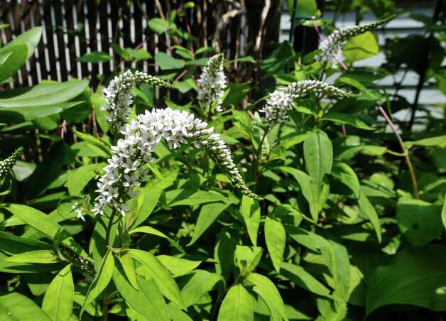 A view of some gooseneck loosestrife in  the garden at 8 Pinewood Ave. on Sunday, July 12, 2015, in Saratoga Springs, N.Y.  This backyard garden was one of the locations for the Saratoga Secret Gardens Tour.  The Secret Gardens Tour is sponsored by Soroptimist International of Saratoga County as a fundraiser for the organization.  The Soroptimist International of Saratoga County is an organization made up of business and professional women who work to improve the lives of women and girls in the community.   (Paul Buckowski / Times Union) Photo: PAUL BUCKOWSKI / 00032580A
