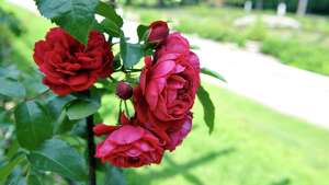 A view of some of the roses in bloom at the Yaddo Rose and Rock Gardens on Sunday, July 12, 2015, in Saratoga Springs, N.Y.  Yaddo  was one of the locations for the Saratoga Secret Gardens Tour.  The Secret Gardens Tour is sponsored by Soroptimist International of Saratoga County as a fundraiser for the organization.  The Soroptimist International of Saratoga County is an organization made up of business and professional women who work to improve the lives of women and girls in the community.   (Paul Buckowski / Times Union)