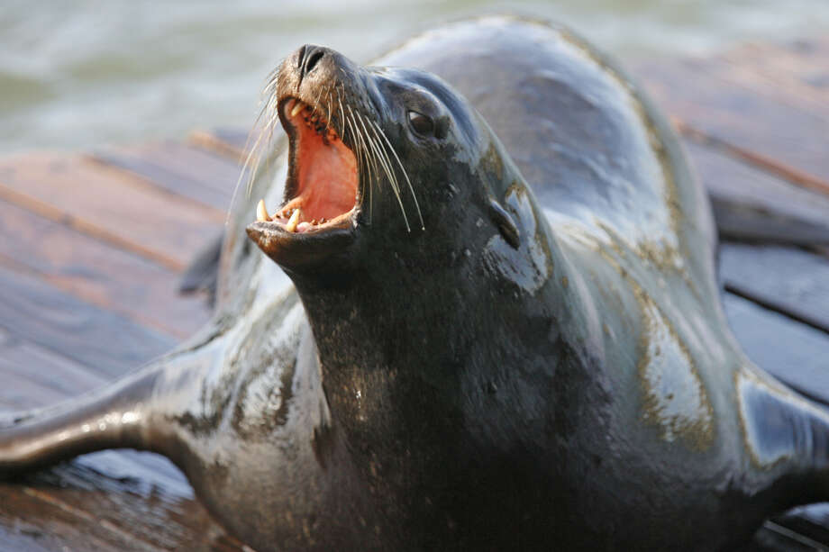 The state Department of Fish and Wildlife obtained a federal permit in November to kill up to 93 California sea lions annually below Willamette Falls south of Portland, Oregon, to protect the winter run of the fish that begin life as rainbow trout but become steelhead when they travel to the ocean. Photo: Chris Stewart/SFC