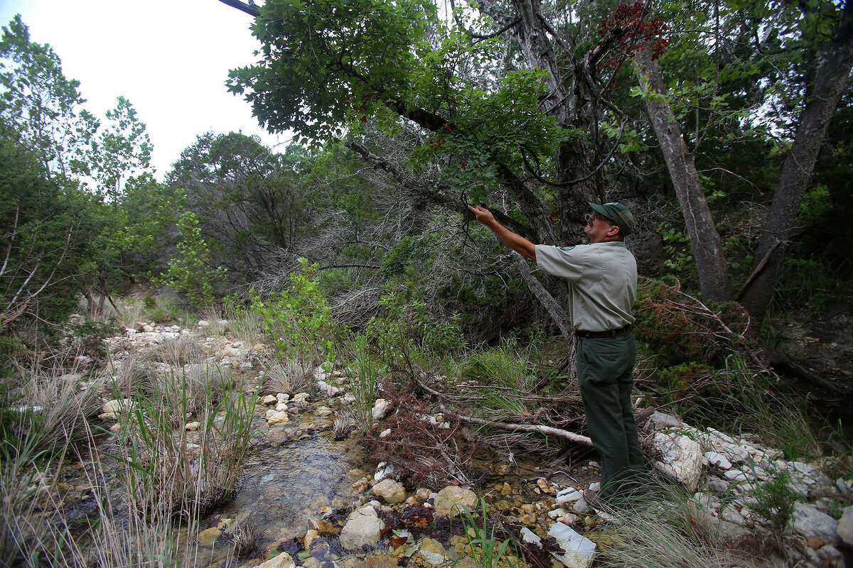 James Rice, superintendent of the Albert & Bessie Kronkosky State Natural Area, examines a big tooth maple tree Tuesday July 7, 2015 near a creek. Located about seven miles west of Boerne, the area consists of more than 3,700 acres and will offer hiking, camping and some limited hunting.