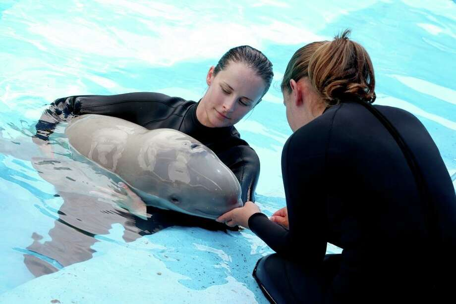 A 2-year-old beluga whale named Stella died at SeaWorld San Antonio in November after being treated for gastrointestinal problems. Photo: /SeaWorld