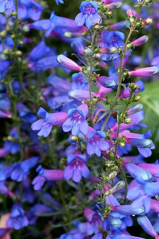 Perennial: Penstemon heterophyllus 'Blue Springs.' Photo: Annie's Annuals & Perennials