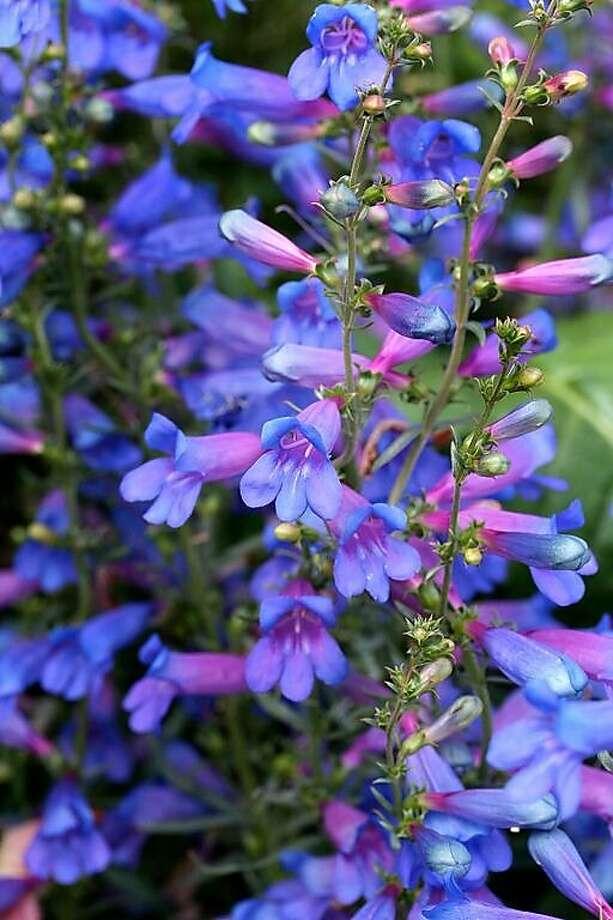 Perennial: Penstemon heterophyllus 'Blue Springs.' Photo: Annie's Annuals & Perennials