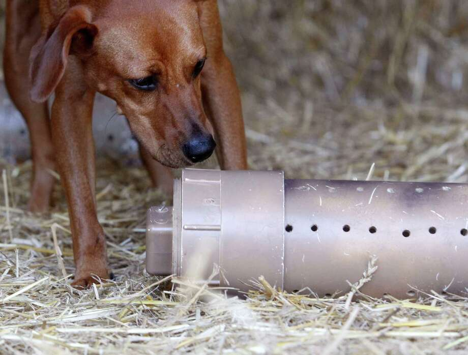 "Red Bone, an American mix breed, sniffs out a container that holds a rat as he practices in trainer Elizabeth Robison's barn for the ""The Barn Hunt,"" a new competition at the Houston World Series of Dog Shows in which dogs of any breed track down rats in a natural environment. ( J. Patric Schneider / For the Chronicle )