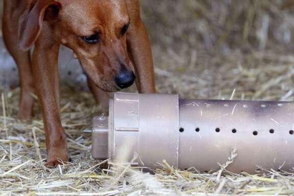 "Red Bone, an American mix breed, sniffs out a container that holds a rat as he practices in trainer Elizabeth Robison's barn for the ""The Barn Hunt,"" a new competition at the Houston World Series of Dog Shows in which dogs of any breed track down rats in a natural environment. ( J. Patric Schneider / For the Chronicle ) Red Bone, an American mix breed, sniffs out a container that holds a rat as he practices in trainer Elizabeth Robison's barn for the ""The Barn Hunt,"" a new competition at the Houston World Series of Dog Shows in which dogs of any breed track down rats in a natural environment. ( J. Patric Schneider / For the Chronicle )   MANDATORY CREDIT:  J. Patric Schneider / For the Chronicle"