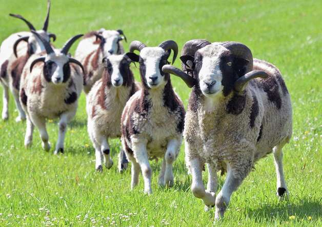 Some of former state Sen. Cecilia Tkaczyk's flock of Jacob sheep at her farm Friday July 10, 2015 in Delanson, NY.  (John Carl D'Annibale / Times Union) Photo: John Carl D'Annibale / 00032551A
