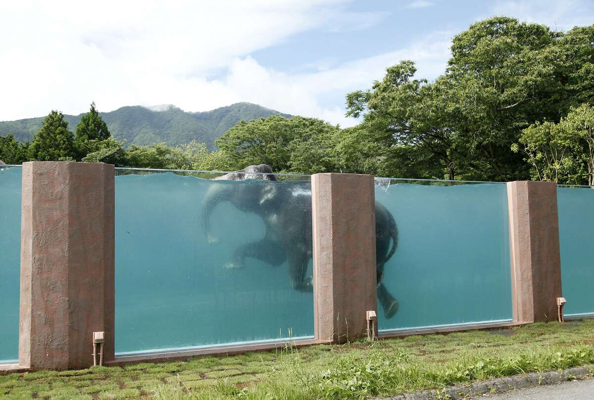 An Asian elephant swims a 65-meters long pool at Fuji Safari Park in Susono, at the foot of Mt. Fuji, southwest of Tokyo, Monday, July 13, 2015. The park was inspired by the images of elephants swimming in the ocean and wanted to build a facility exactly demonstrating what was little known in Japan that elephants can actually swim. The attraction opened on July 11. (AP Photo/Koji Ueda)