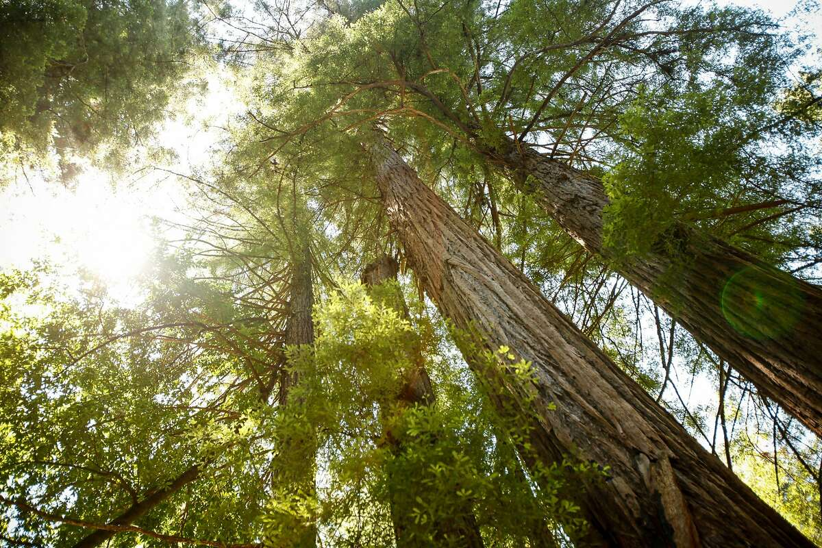 Redwoods at the Henry Cowell Redwood State Park in Felton, Calif., on Friday, July 3, 2015.