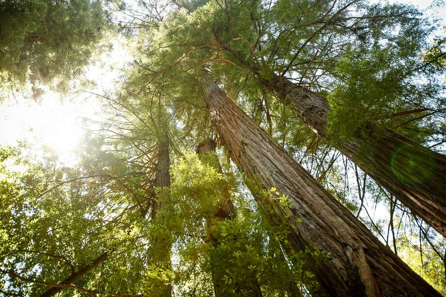 Redwoods at the Henry Cowell Redwoods State Park in Felton. Photo: Sarah Rice, Special To The Chronicle