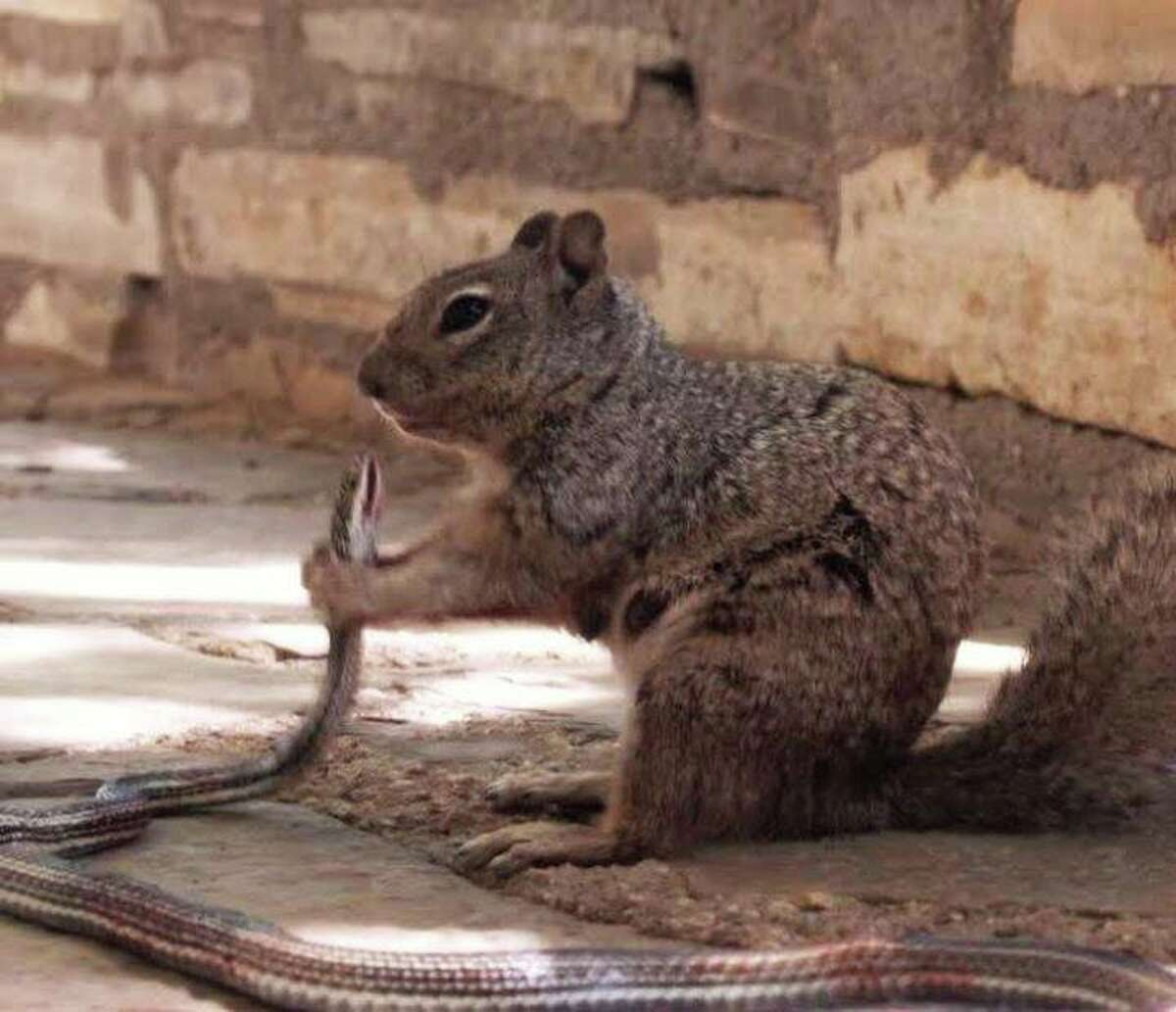 """This photo, taken by the Guadalupe Mountains National Park, shows a squirrel holding a squirrel just before devouring it. According to a Facebook post, the squirrel ate most of the snake, """"bones and all."""""""