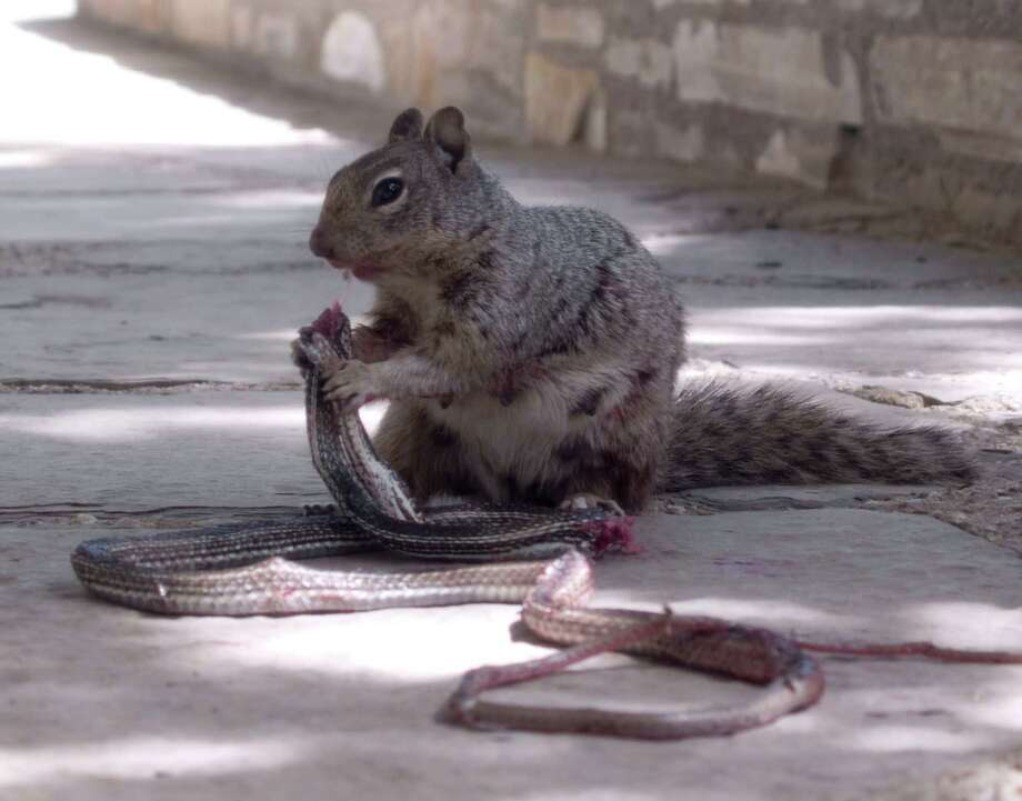 "This photo, taken by the Guadalupe Mountains National Park, shows a squirrel holding a snake just before devouring it. According to a Facebook post, the squirrel ate most of the snake, ""bones and all."" Photo: Courtesy, NPS Photo/W. Leggett, Guadalupe Mountains National Park"