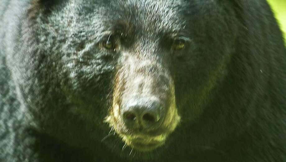 Kent resident Karen Chase captured this image outside her living room window last month. Bear sightings have been on the rise with 4,320 reported statewide and about 530 in the Danbury area alone in the past year. Photo: Contributed Photo / Copyright 2013
