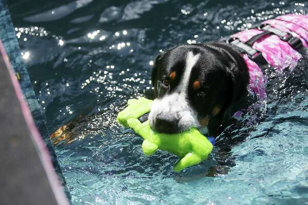 From Swimming Pool To Show Ring The Life Of A Champion Dog
