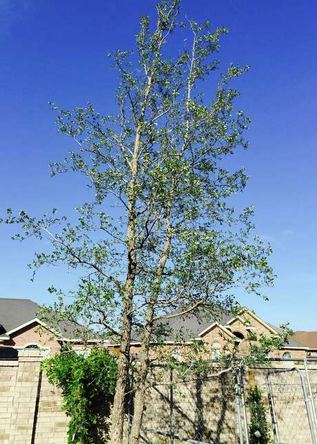 Large cedar elms likely suffered root damage in transplanting. Photo: Courtesy Photo