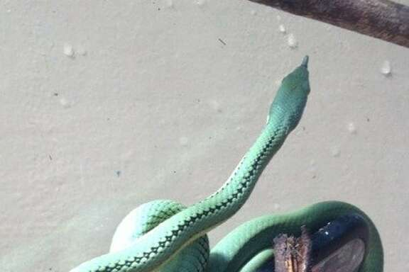 This 13-inch Baron's Racer snake was thought to have disappeared from its enclosure, but was found safe right there.