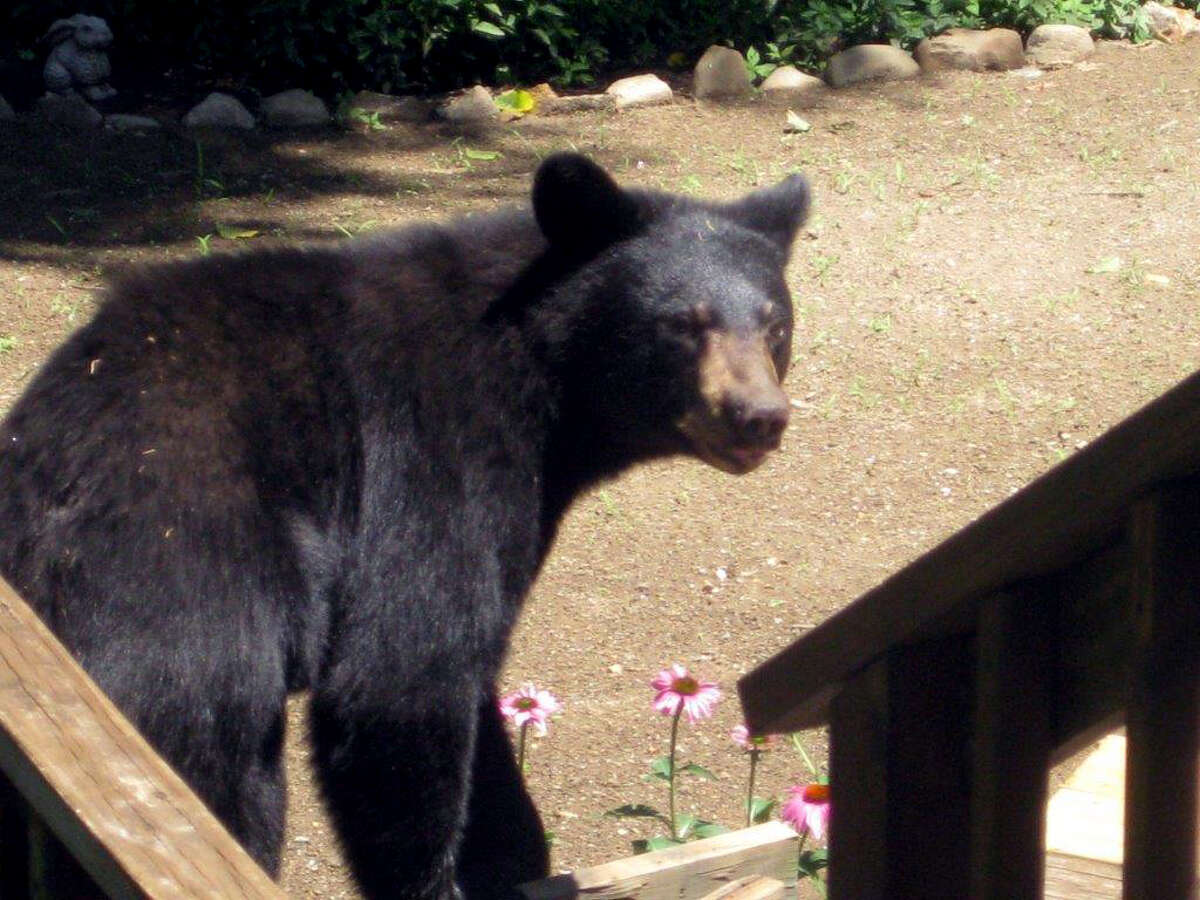Gary Simpson took this photo of a bear in his backyard on Weathervane Hill in Monroe last Friday.
