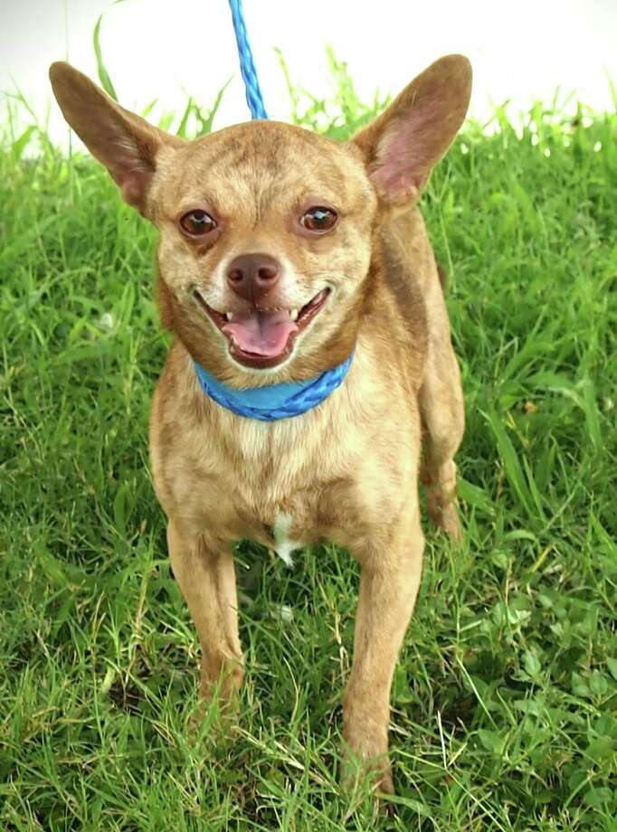 Sebastian, a 2- year-old, brindle colored Chihuahua is available for adoption beginning Friday.