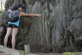 The Chronicle's Kay Phan at the Methuselah Tree on hike for Chronicle members. The diameter of the base is 14 feet across, with a circumference of 44 feet – the biggest redwood on the north Peninsula. The Midpeninsula Open Space District estimates the tree is 1,800 years old.