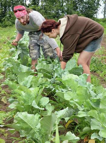 Pizza baker Matthew Geiling, left, and farm worker Layla Lakos pick broccoli raab at 9 Miles East Farm Wednesday July 8, 2015 in Schuylerville, NY.  (John Carl D'Annibale / Times Union) Photo: John Carl D'Annibale / 00032515A