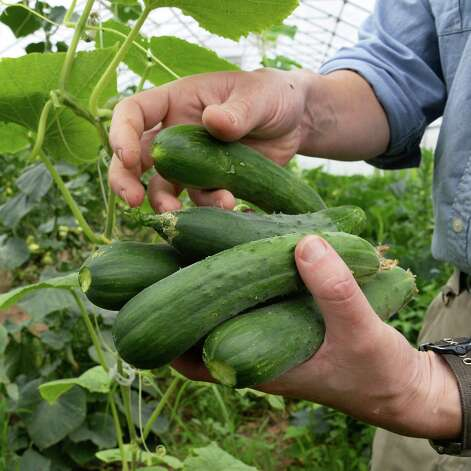 Gordon Sacks picks cucumbers at 9 Miles East Farm Wednesday July 8, 2015 in Schuylerville, NY.  (John Carl D'Annibale / Times Union) Photo: John Carl D'Annibale / 00032515A
