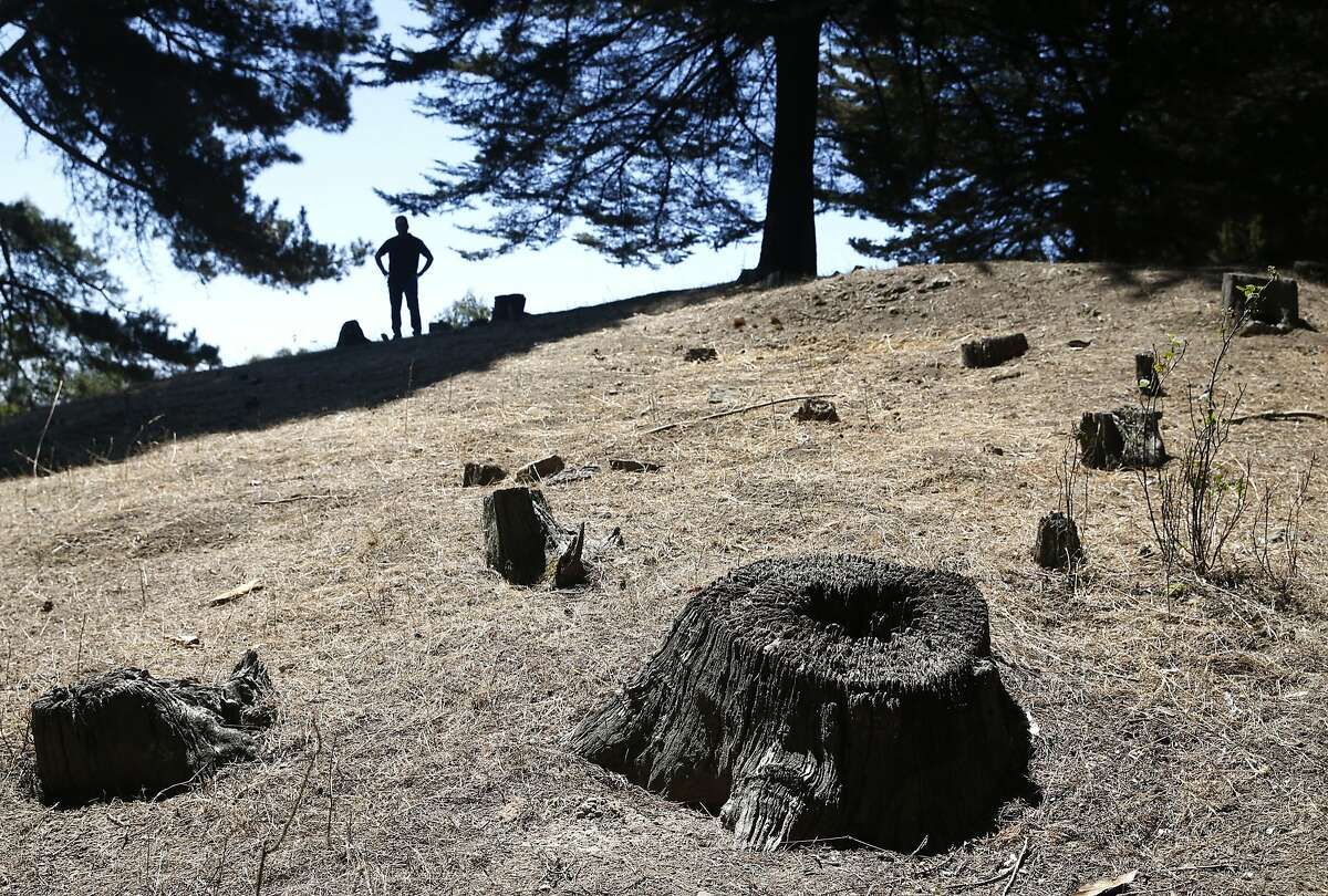Nathan Winograd (background), of the Save the East Bay Hills community group, views an area where trees were cut down at Redwood Regional Park in Oakland, Calif. on Wednesday, July 15, 2015. A controversial plan to remove thousands of trees in the East Bay hills as part of a federally-funded fire mitigation program is being opposed by Winograd's group and several others.
