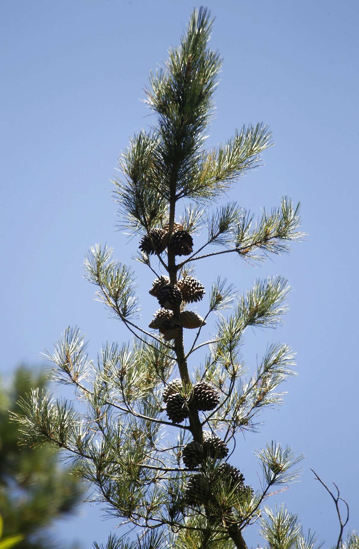 Pine cones hang from a Monterey pine tree at Redwood Regional Park in Oakland, Calif. on Wednesday, July 15, 2015. A controversial plan to remove thousands of trees in the East Bay hills as part of a federally-funded fire mitigation program is being opposed by the Save the East Bay Hills community group and several others.