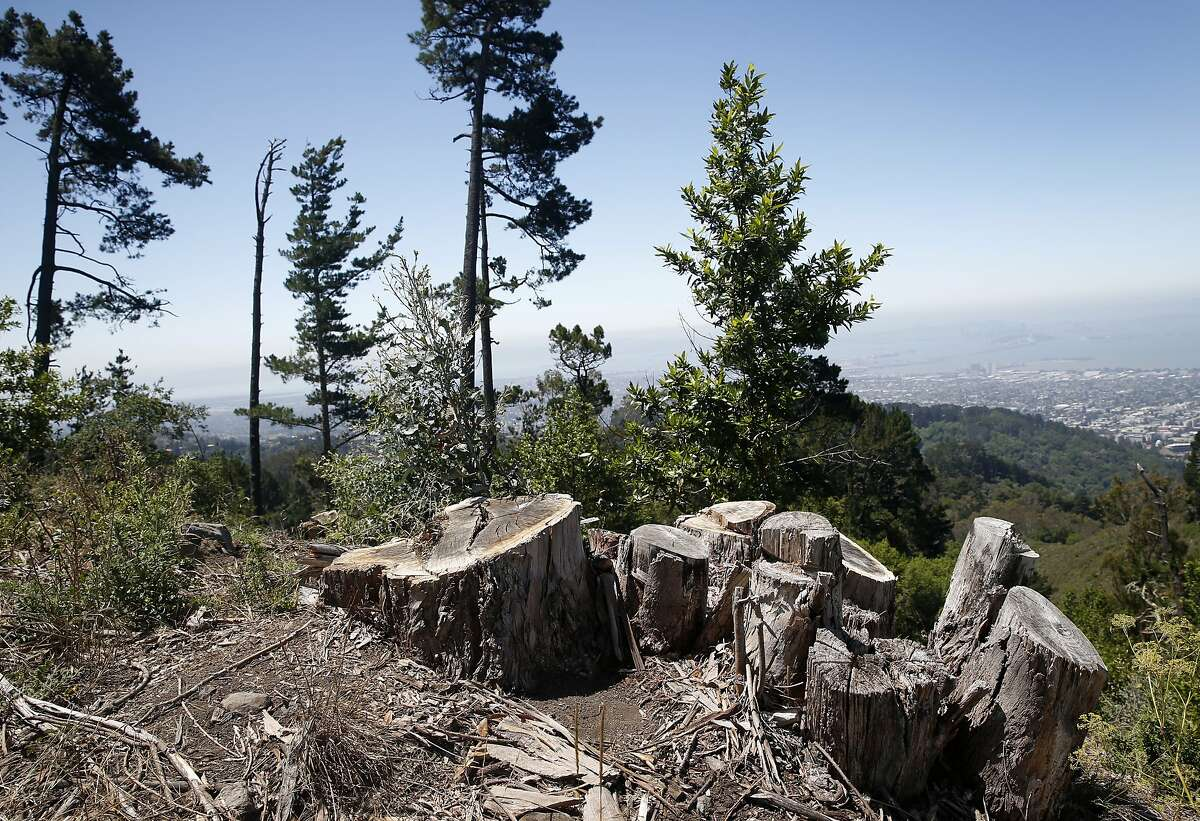 Stumps remain in the ground from trees recently removed on Frowning Ridge, just off of Grizzly Peak Boulevard above UC Berkeley, on Wednesday, July 15, 2015. A controversial plan to remove thousands of trees in the East Bay hills as part of a federally-funded fire mitigation program is being opposed by the Save the East Bay Hills community group and several others.