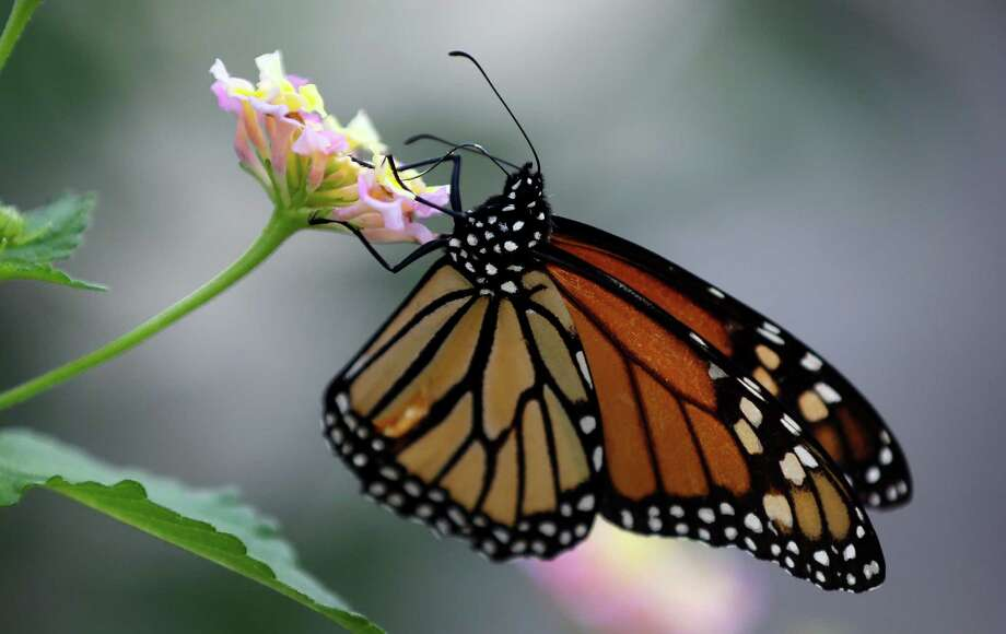 Lantana is among the plants that attract butterflies. Photo: Associated Press File Photo / AP