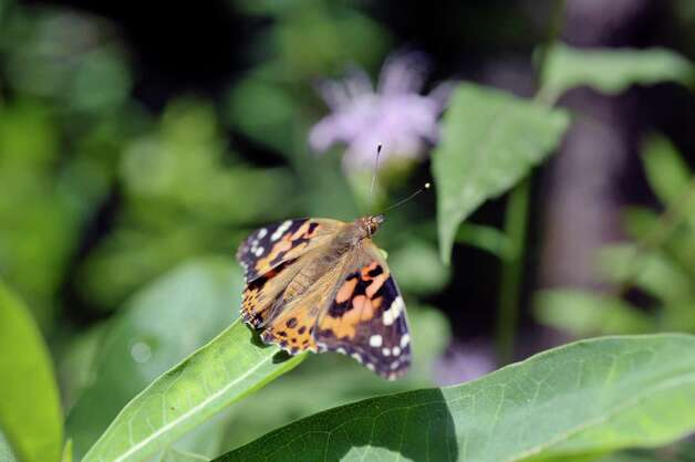 A view of a painted lady butterfly inside the butterfly house at the Farnsworth Middle School Butterfly Station on Wednesday, July 15, 2015, in Guilderland, N.Y.  This is the 17th year of the student-run butterfly house and native plant garden.  The Butterfly Station is free and open to the public, open from 10 a.m. to 1:30 p.m., Monday through Friday, now through August 6th.   (Paul Buckowski / Times Union) Photo: PAUL BUCKOWSKI / 00032640A