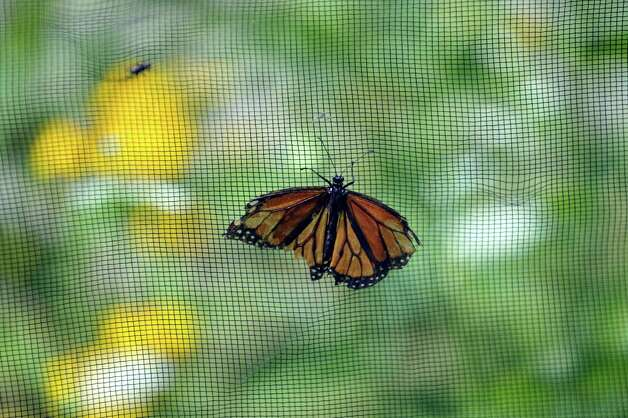 A view of a monarch butterfly inside the butterfly house at the Farnsworth Middle School Butterfly Station on Wednesday, July 15, 2015, in Guilderland, N.Y.  This is the 17th year of the student-run butterfly house and native plant garden.  The Butterfly Station is free and open to the public, open from 10 a.m. to 1:30 p.m., Monday through Friday, now through August 6th.   (Paul Buckowski / Times Union) Photo: PAUL BUCKOWSKI / 00032640A