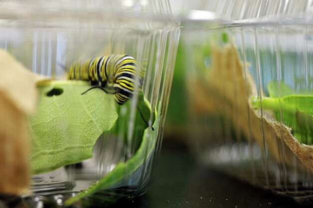 A view of a monarch caterpillar inside the metamorphosis room at the Farnsworth Middle School Butterfly Station on Wednesday, July 15, 2015, in Guilderland, N.Y.  The caterpillars go into their chrysalis stage before emerging as a butterfly and then being moved to the butterfly house.  This is the 17th year of the student-run butterfly house and native plant garden.  The Butterfly Station is free and open to the public, open from 10 a.m. to 1:30 p.m., Monday through Friday, now through August 6th.  (Paul Buckowski / Times Union) Photo: PAUL BUCKOWSKI / 00032640A