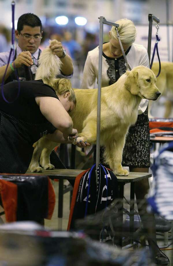 Joseph Washnesky, Katherine Moyer, and Karen Livingston groom 'Willow', a golden retriever, before his competition during The Houston World Series of Dog Shows at NRG Stadium on Wednesday, July 15, 2015, in Houston. Photo: Mayra Beltran, Houston Chronicle / © 2015 Houston Chronicle