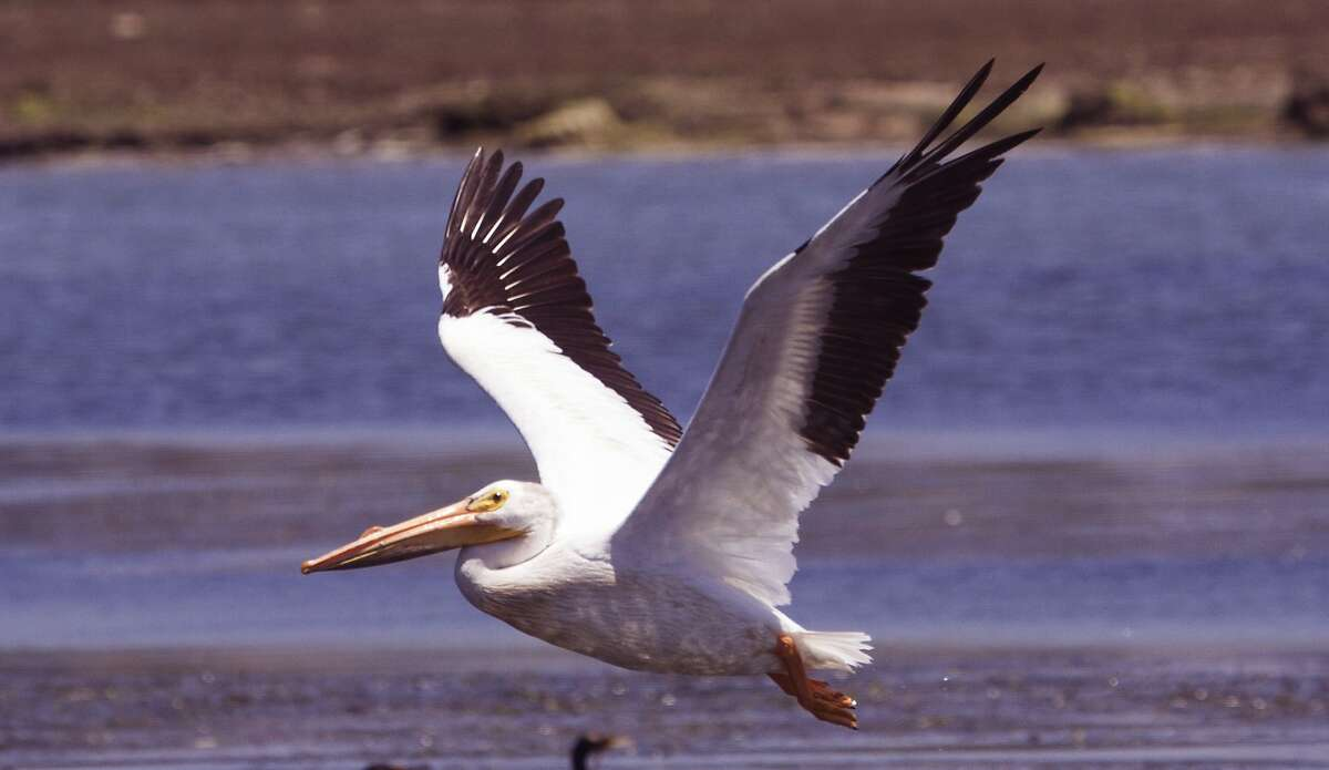 White pelicans, which can range to a 9-foot wingspan and weigh 25 pounds, are rare on the Pacific Coast, but up to 300 per trip have been sighted in Elkhorn Slough